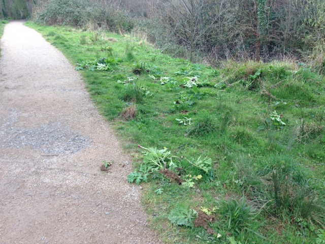 Some of the removed hogweed