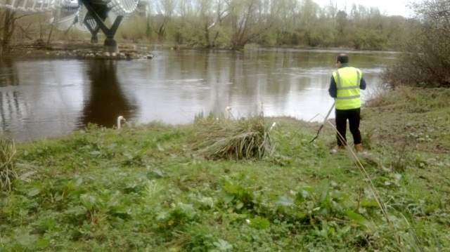 Hogweed removal underway as two swans look on