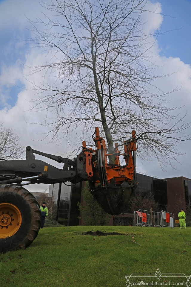 Copper Beech lifted by library